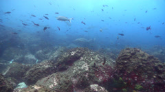 Galapagos shark swimming on rocky reef, Carcharhinus galapagensis, HD, UP25373 Stock Footage