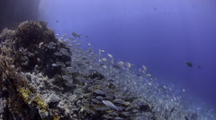 Seasonal gathering - large school of parrot fish - 29.97fps - stock footage