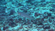 Stock Video Footage of Fish | Wrasses | Malpelo Wrasse | Rubble | Tracking