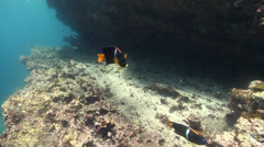 King angelfish swimming on rocky reef, Holacanthus passer, HD, UP25491 Stock Footage