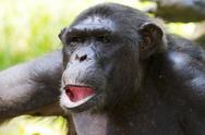 Stock Photo of Chimpanzee