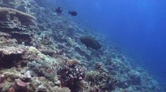 Humphead maori wrasse swimming on coral reef, Cheilinus undulatus, HD, UP25510 Stock Footage