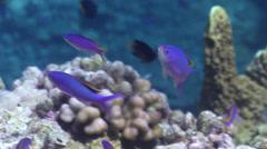 Purple anthias feeding on coral reef, Pseudanthias tuka, HD, UP25518 Stock Footage