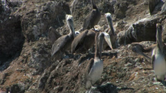 California Brown Pelicans on Anacapa Island at Channel Islands National Park Stock Footage