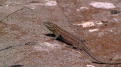 Island side-blotched lizard.  Stock Footage