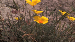 California Poppy in bloom on the hillsides of Santa Rosa Island Stock Footage