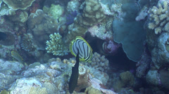 Meyer's butterflyfish feeding on coral reef, Chaetodon meyeri, HD, UP25606 Stock Footage