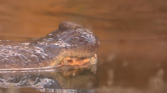 Eyes Crocodile resurface from the water Stock Footage