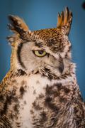Avian, eagle owl in a sample of birds of prey, medieval fair Stock Photos