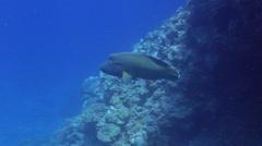 Humphead maori wrasse swimming on coral reef, Cheilinus undulatus, HD, UP25645 Stock Footage