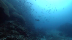 Whitetip reef shark swimming and schooling on deep coral reef, Triaenodon Stock Footage