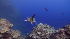 Blunthead batfish swimming on wall, Platax teira, HD, UP25668 Stock Footage