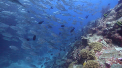 Bigeye trevally swimming and schooling on coral reef, Caranx sexfasciatus, HD, Stock Footage