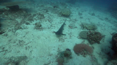Whitetip reef shark sleeping on deep coral reef, Triaenodon obesus, HD, UP25686 Stock Footage