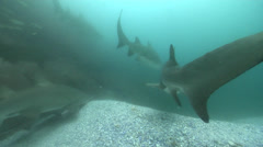 Grey nurse shark hovering on rocky gutter, Carcharias taurus, HD, UP25758 Stock Footage