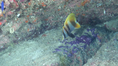 Highfin coralfish swimming in cavern, Coradion altivelis, HD, UP25774 Stock Footage