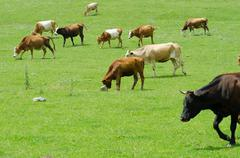 Cows grazing on the green field Stock Photos