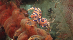 Harlequin shrimp walking, Hymenocera picta, HD, UP25900 Stock Footage