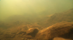 Juvenile Mary River Turtle swimming on silty river bed, Elusor macrurus, HD, Stock Footage