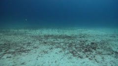 Galapagos garden eel retracting on sand, Heteroconger klausewitzi, HD, UP26017 Stock Footage