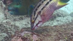 Mexican hogfish feeding on rocky reef, Bodianus diplotaenia, HD, UP26035 Stock Footage