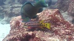 Mexican hogfish feeding on rocky reef, Bodianus diplotaenia, HD, UP26038 Stock Footage
