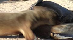 Adults and juveniles Galapagos sea lion, Zalophus californicum wollebacki, HD, Stock Footage