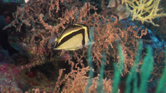 Southern scythe-marked butterflyfish swimming on wall, Prognathodes carlhubbsi, Stock Footage