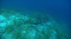 Galapagos black coral swimming on wall, Antipathes galapagensis, HD, UP26143 Stock Footage