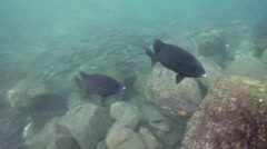 Pacific beakfish swimming on rocky shore, Oplegnathus insignis, HD, UP26221 Stock Footage