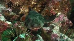 Galapagos bullhead shark on rocky reef, Heterodontus quoyi, HD, UP26241 Stock Footage