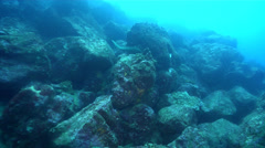 Speckled moray swimming on rocky reef, Gymnothorax dovii, HD, UP26244 Stock Footage