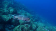 King angelfish swimming on rocky reef, Holacanthus passer, HD, UP26330 Stock Footage