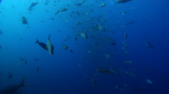 Galapagos shark swimming in bluewater, Carcharhinus galapagensis, HD, UP26333 Stock Footage