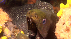 Speckled moray gaping in crevice, Gymnothorax dovii, HD, UP26384 - stock footage