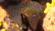Stock Video Footage of Fish | Morays | Speckled Moray | Crevice | Gaping | Close Up
