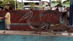 Juvenile Brown pelican, Pelecanus occidentalis, HD, UP26435 Stock Footage