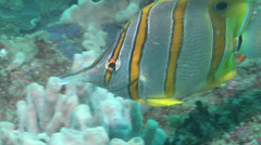 Beaked coralfish swimming, Chelmon rostratus, HD, UP26490 Stock Footage