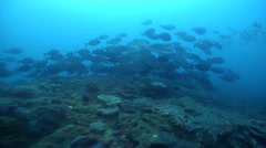 Sixplate sawtail swimming and schooling on rocky reef, Prionurus microlepidotus, Stock Footage