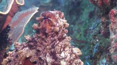 Common reef octopus, Octopus cyanea, HD, UP26517 Stock Footage