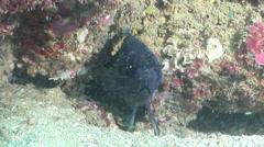 Eastern Blue Devil, Paraplesiops bleekeri, HD, UP26563 Stock Footage