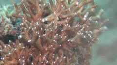 Needle coral on shallow coral reef, Seriatopora hystrix, HD, UP26622 Stock Footage