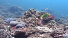 Sunset wrasse swimming on rocky reef, Thalassoma lutescens, HD, UP26627 Stock Footage