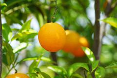 branch orange tree fruits green leaves in Valencia Spain - stock photo