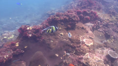 Moorish idol swimming on rocky reef, Zanclus cornutus, HD, UP26640 Stock Footage