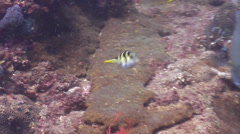 Black-saddle toby swimming on rocky reef, Canthigaster valentini, HD, UP26644 Stock Footage