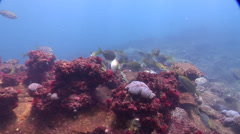 Dusky rabbitfish feeding and schooling on rocky reef, Siganus fuscescens, HD, Stock Footage