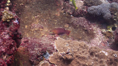 Gunther's wrasse hunting on rocky reef, Pseudolabrus guentheri, HD, UP26654 Stock Footage