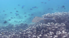Kuhl's Ray swimming on shallow coral reef, Neotrygon kuhlii, HD, UP26658 Stock Footage