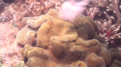Scientific diver on shallow coral reef with Unidentified mushroom leather coral Stock Footage